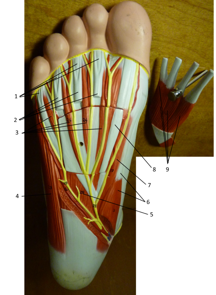 Foot Plantar Surface (Deeper)