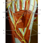 Foot Plantar Surface (Deepest)