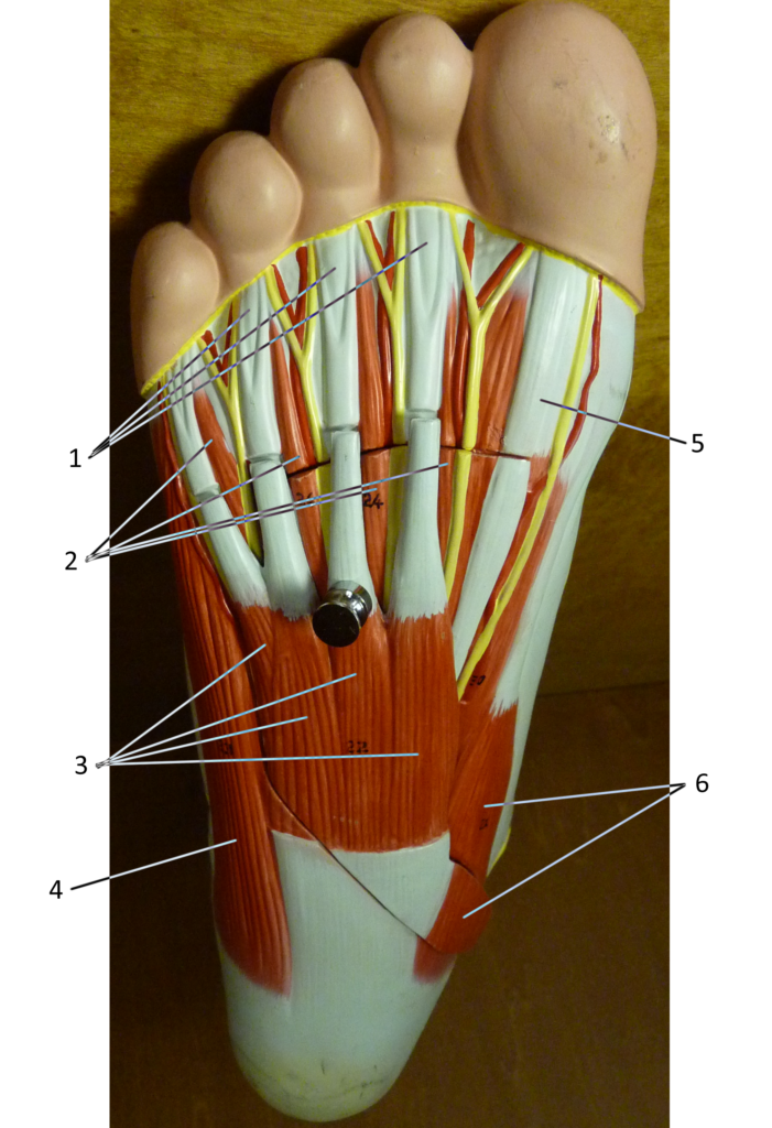 Foot Plantar Surface (Superficial)