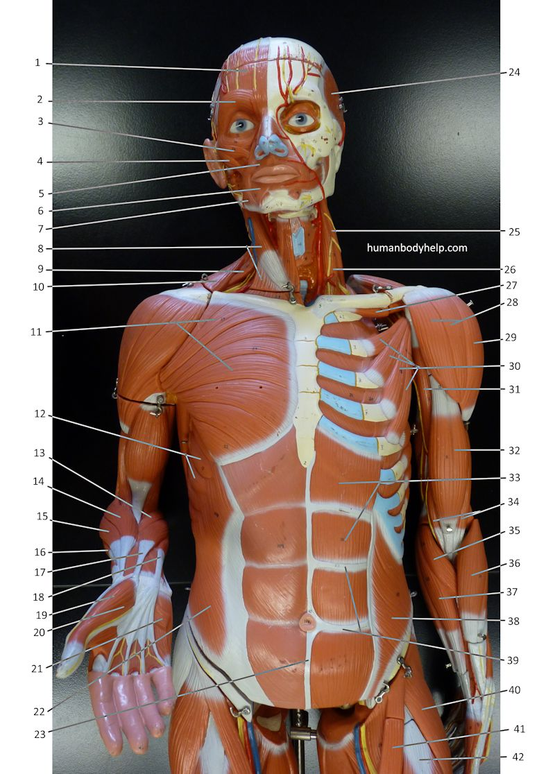Large Muscle Model Upper Body Anterior