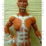 Little Muscle Man Upper Body Anterior
