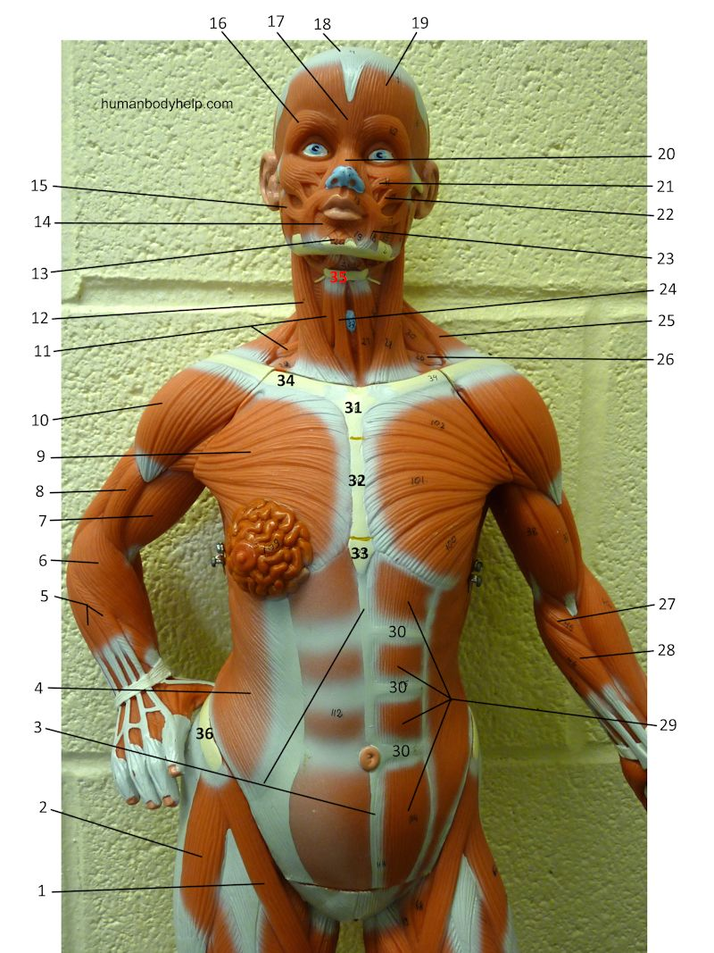Small Muscle Model (anterior, upper) – Human Body Help