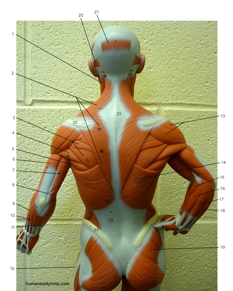 Muscles – Trunk, Head, and Neck – Human Body Help