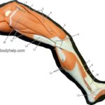 Lower Extremity (Medial)