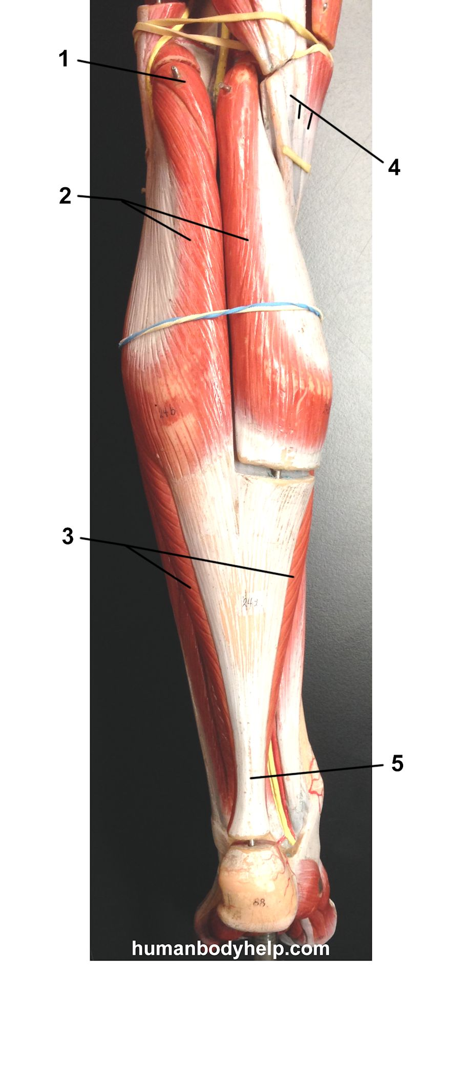 Posterior Leg Old Model Human Body Help