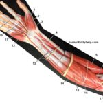 old-muscle-model-anterior-forearm