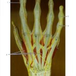 Posterior Hand
