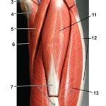 thigh-anterior-old-model