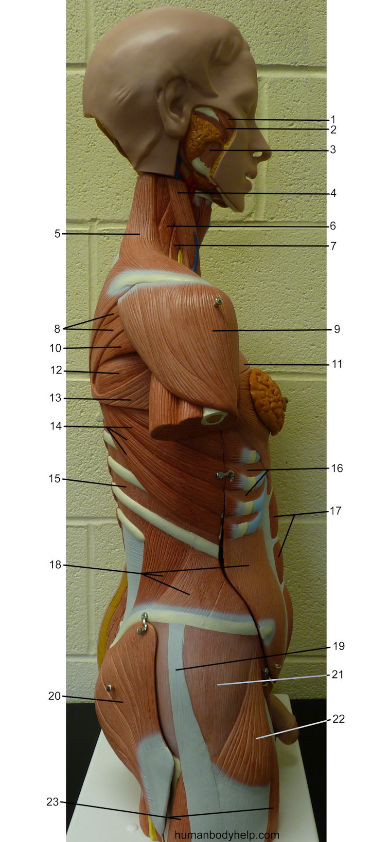 Torso Muscles Lateral