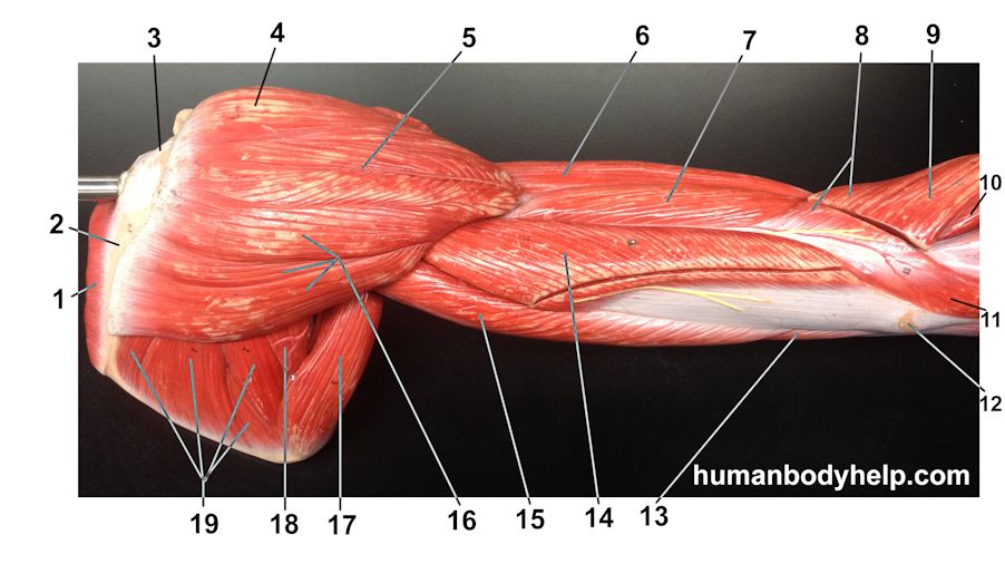 Arm – Lateral (Old Model) – Human Body Help