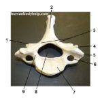 cervical-vertebra-superior
