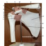 shoulder-joint-anterior