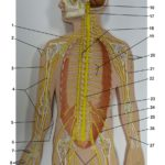 nervous-system-plaque-upper