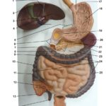 digestive-system-lower