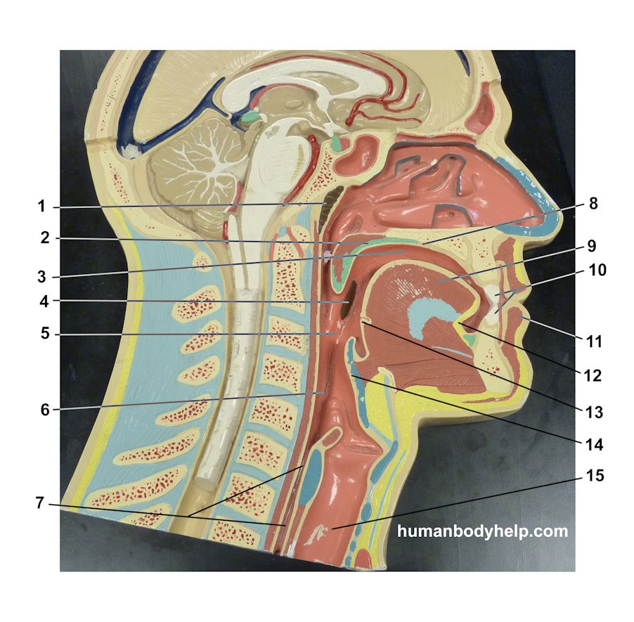head-plaque-digestive