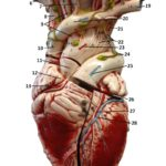 heart-6-anterior-closed