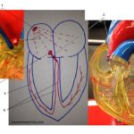 heart-electrical-conduction-system