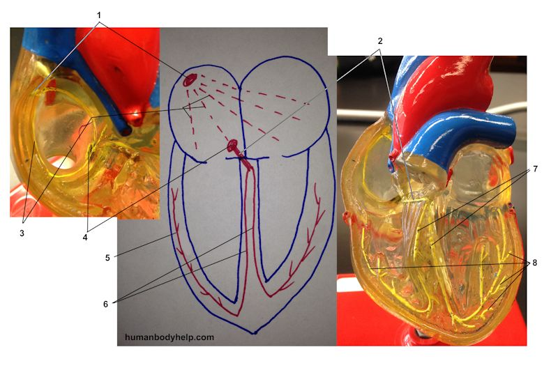 Heart electrical conduction system human body help heart electrical conduction system ccuart Images