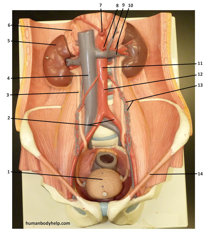 Urinary System Plaque Human Body Help