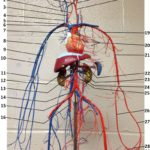 wire-blood-vessels-upper